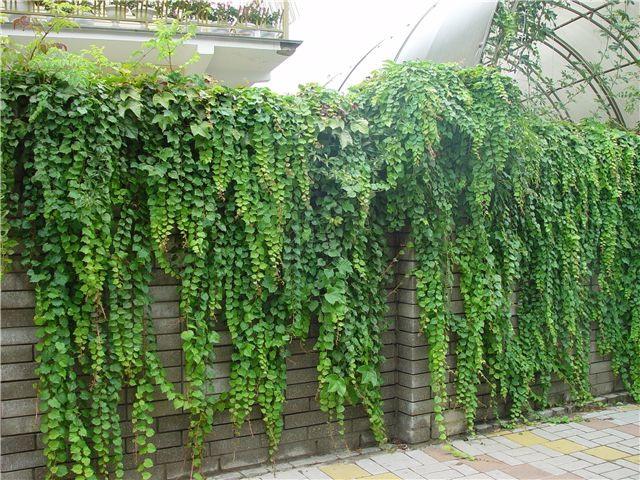 Плющ неприхотливое растение, растет он как в тени, так и на освещенных участках