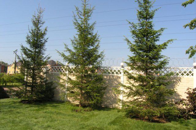 Необходимо с запасом сажать деревья возле забора, не известно что ждать от горяче «любимого» соседа.