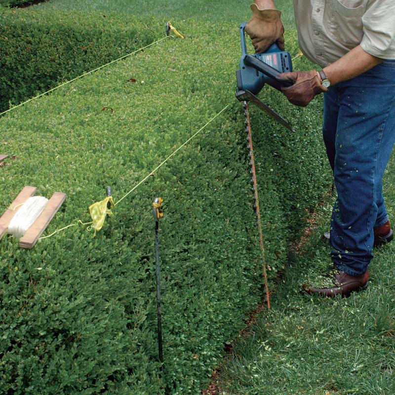 Жива изгородь требует постоянного ухода и поддержки
